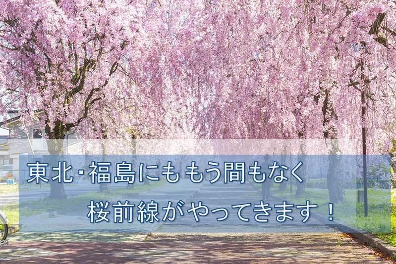 まもなく桜開花