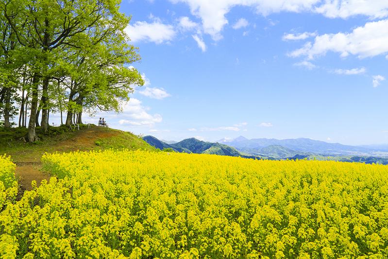 三の倉菜の花畑