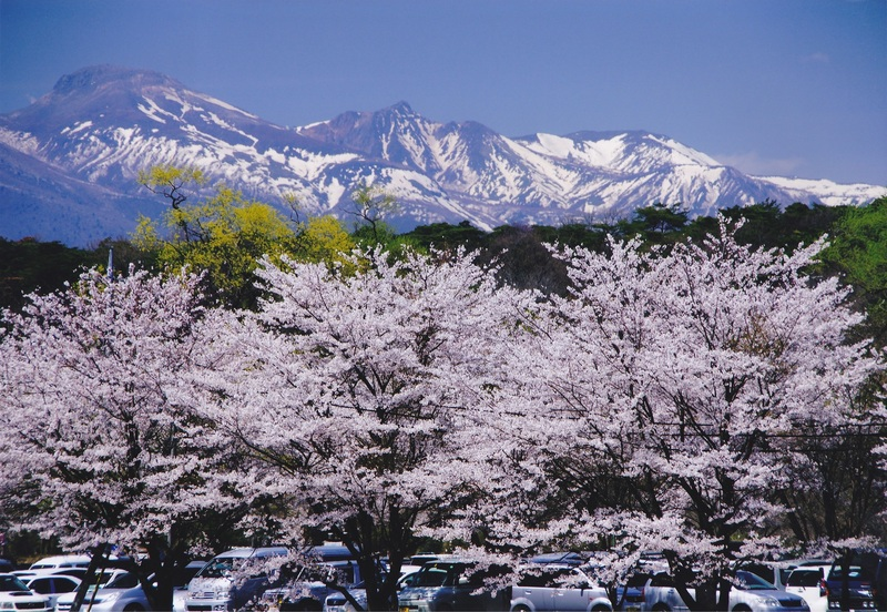黒磯公園 桜情報