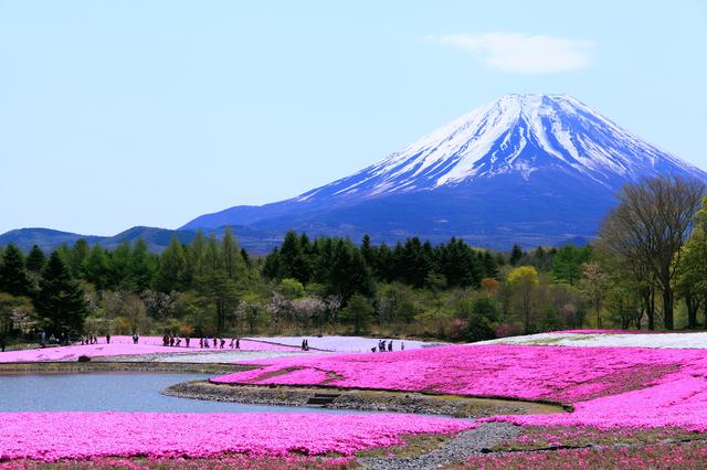 今年も開催!富士芝桜まつり~首都圏最大級・約80万株の芝桜~
