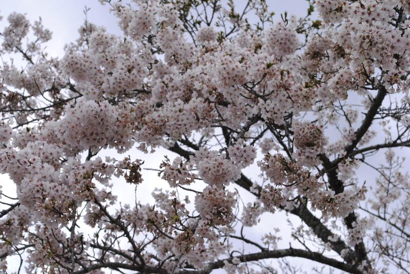 ホテルの桜が満開です!!
